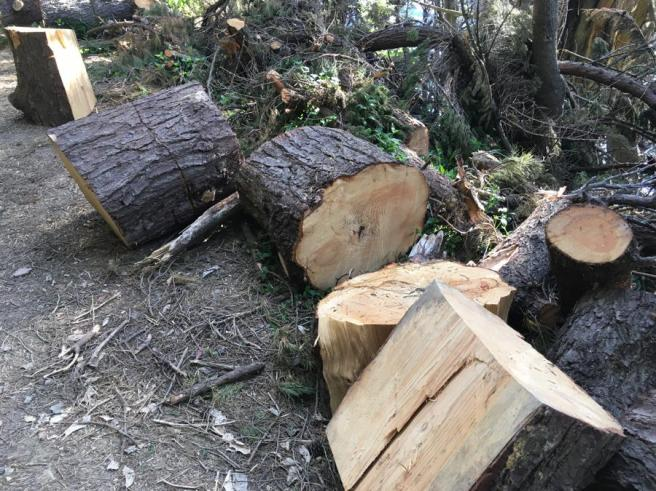 Old pine tree cut into seats for weary walkers